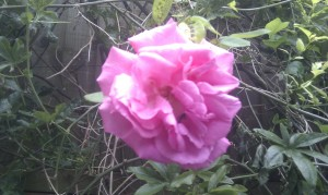 my heavenly rose
