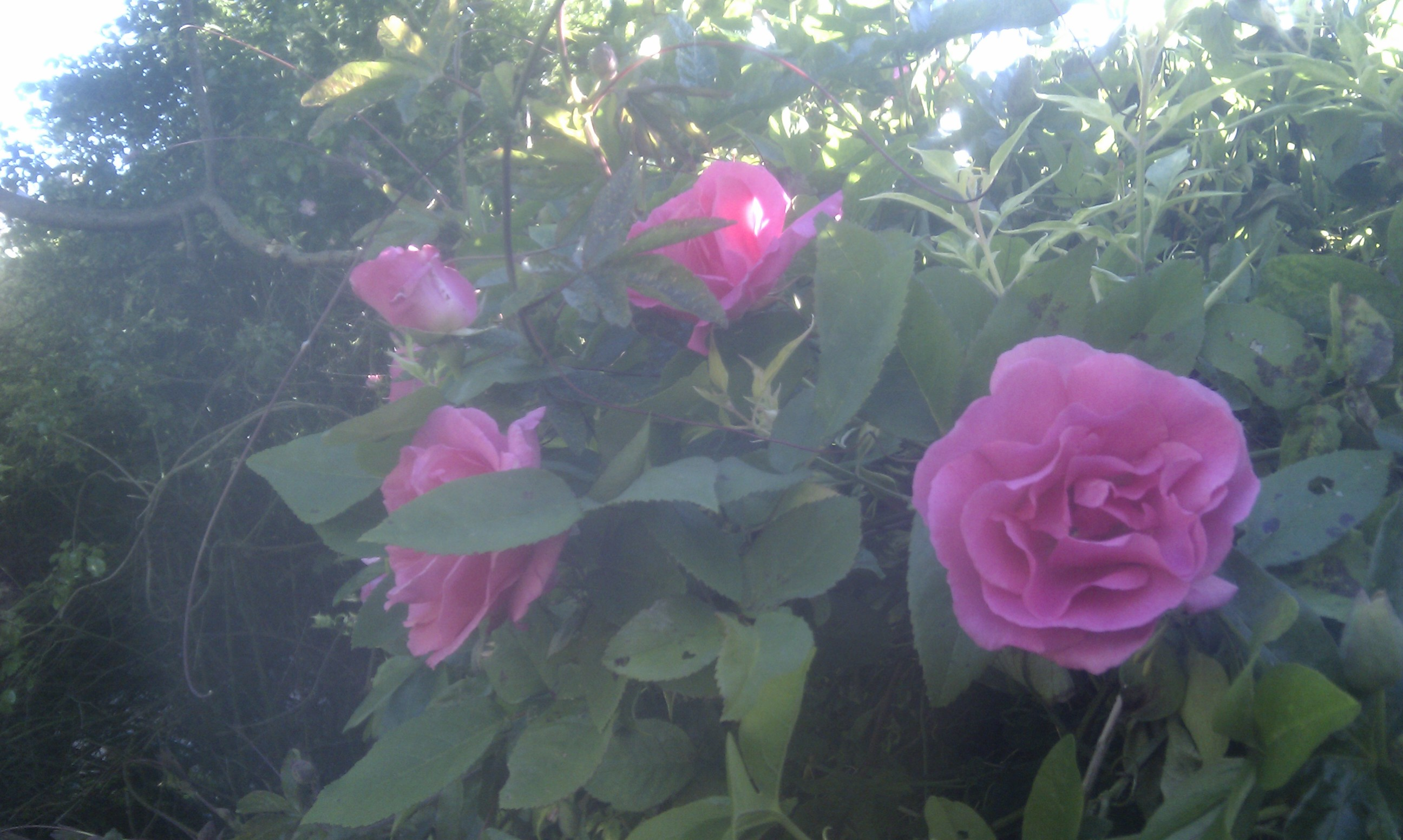 the roses in my garden songs and poems by sandra hillawi